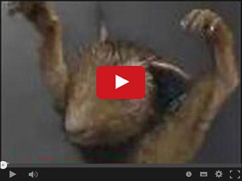 Rosjan ostrzega pijana wiewiórka
