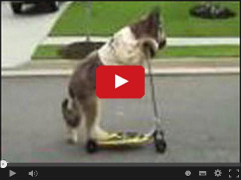 Pies jedzie na hulajnodze