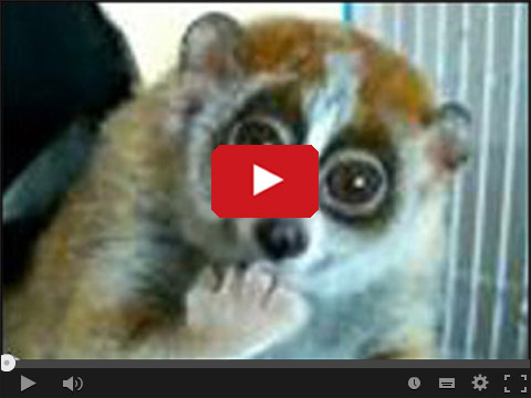 Uroczy lemurek
