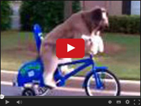 Pies jedzie na rowerze