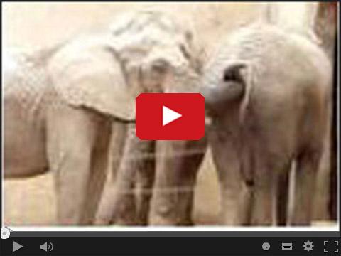 Co zrobi słoń