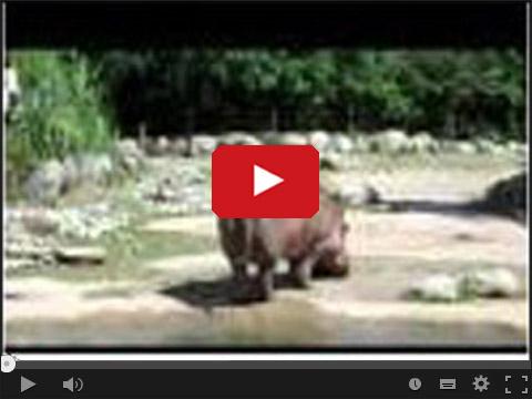 Hipopotam puścił bąka