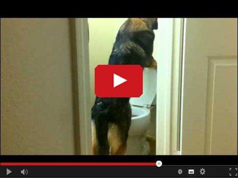 Pies i toaleta
