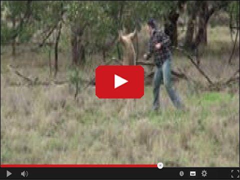 Kangur dostaje z pięści w ryj