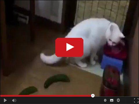 Koty ogórki i zabawne sytuacje z tym związane