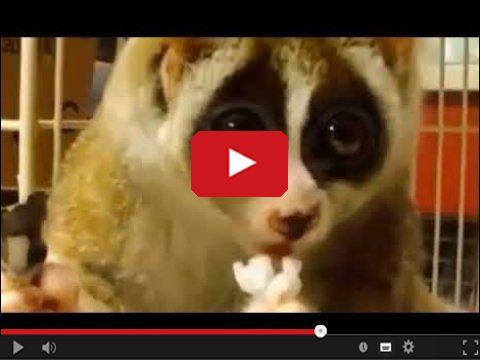 Uroczy lemur