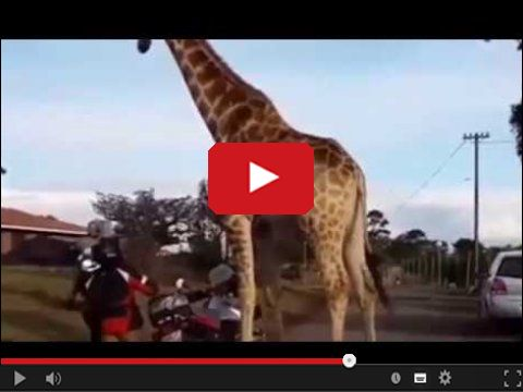 Żyrafa kradnie motocykl