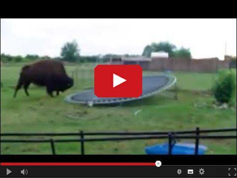Ogromny bizon na trampolinie w ogródku