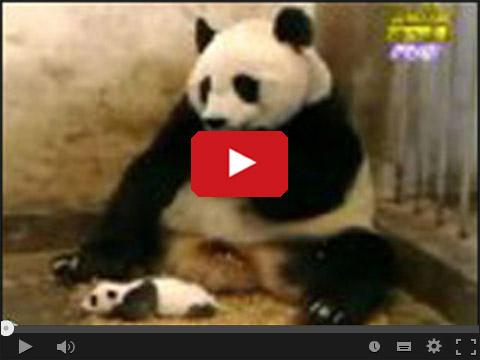 Wystraszony miś Panda